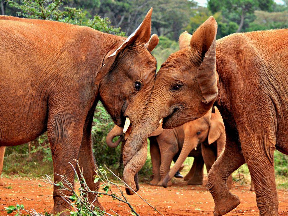 Ελέφαντες Εθνικό Πάρκο του Ναϊρόμπι , στην Κένυα.