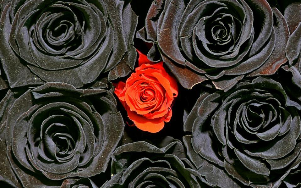 Μαύρα τριαντάφυλλα. Λίγο πριν από την γιορτή του Αγίου Βαλεντίνου, που για χάρη της θυσιάζονται δισεκατομμύρια τριαντάφυλλα κάθε χρόνο, έγινε η ετήσια έκθεση φυτών και λουλουδιών στην Γερμανία. Στην φωτογραφία το κοντράστ μεταξύ των κόκκινων και των μαύρων τριαντάφυλλων από την διακόσμηση της έκθεσης. AP Photo/Martin Meissner