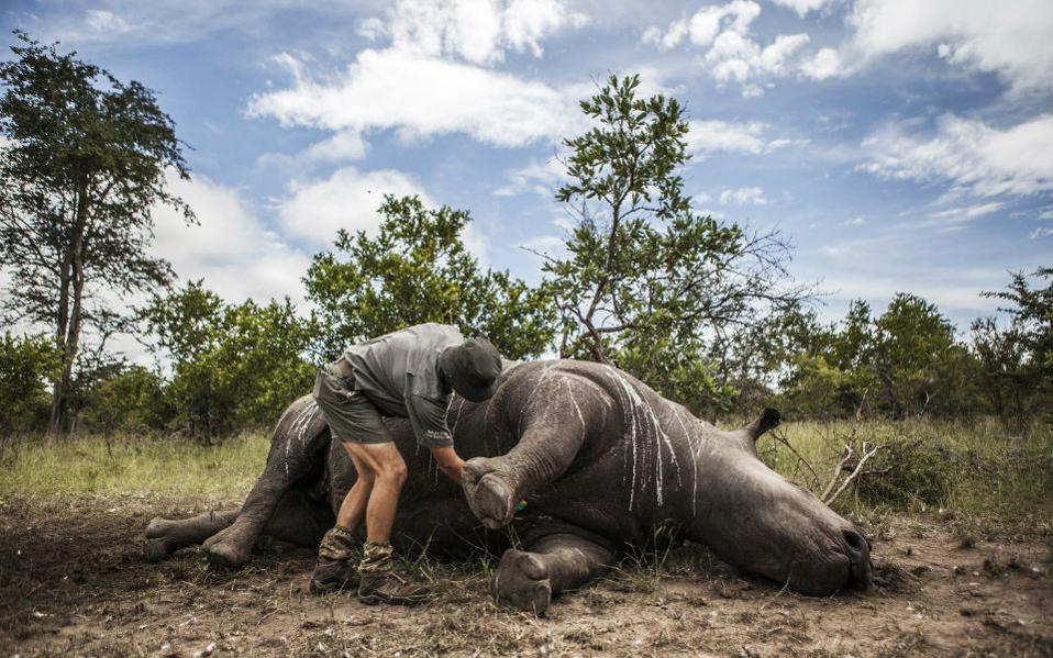 Θλιβερή καταμέτρηση. Με αμείωτο ρυθμό συνεχίζονται οι δολοφονίες των ρινόκερων για την απόσπαση του πολύτιμου κεράτου του. Στην Νότιο Αφρική καταμετρήθηκαν 1215 θύματα εκ των οποίων τα 827 στο εικονιζόμενο Εθνικό Πάρκο Kruger. Για την νέα χρονιά έχουν κιόλας πέσει στο βωμό του κέρδους 41 τεράστια ζώα, μόνο στο πάρκο και παρά τις προσπάθειες των ερευνητών και την συλλογή στοιχείων, οι λαθροκυνηγοί συνεχίζουν ακάθεκτοι. Αξίζει να σημειωθεί ότι η τιμή των κεράτων είναι υψηλότατη και σε πολλές περιοχές της Ασίας, η σκόνη του κεράτου θεωρείται ότι εξαλείφει σχεδόν κάθε ασθένεια. EPA/SALYM FAYAD