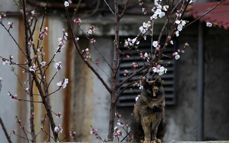 Ανθισμένη Αθήνα. Κόντρα στα γκρίζα κτίρια, εγκαταλελειμμένα στην φθορά τους και στην γκρίζα μας διάθεση, έρμαιη των χρημάτων, η φύση εξακολουθεί να μας ευλογεί. Έτσι όλα τα καρποφόρα δένδρα της πόλης άνοιξαν τους ροδαλούς καρπούς τους στον ουρανό. ΠΕ-ΜΠΕ/ΑΠΕ-ΜΠΕ/ΣΥΜΕΛΑ ΠΑΝΤΖΑΡΤΖΗ