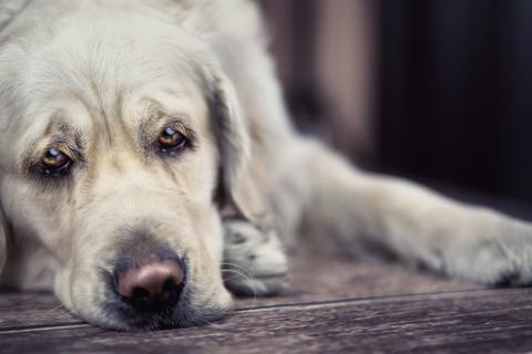 dreamstimedog