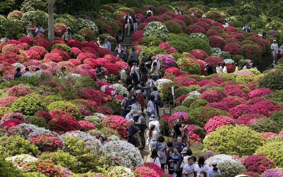 Χιλιάδες αζαλέες αποτελούν πόλο έλξης για τους επισκέπτες στο Ναό Νεζού στο Τόκιο. Περίπου 3.000 φυτά από 100 διαφορετικά είδη αζαλέας ανθίζουν στον περίβολο του Ναού, από τα μέσα Απριλίου έως τις αρχές Μαΐου.
