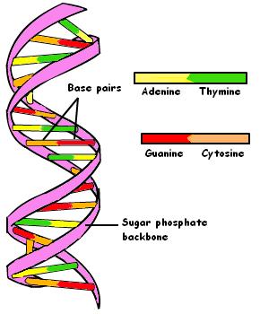 dna-nucleotide