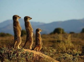meerkats-morning-upclose