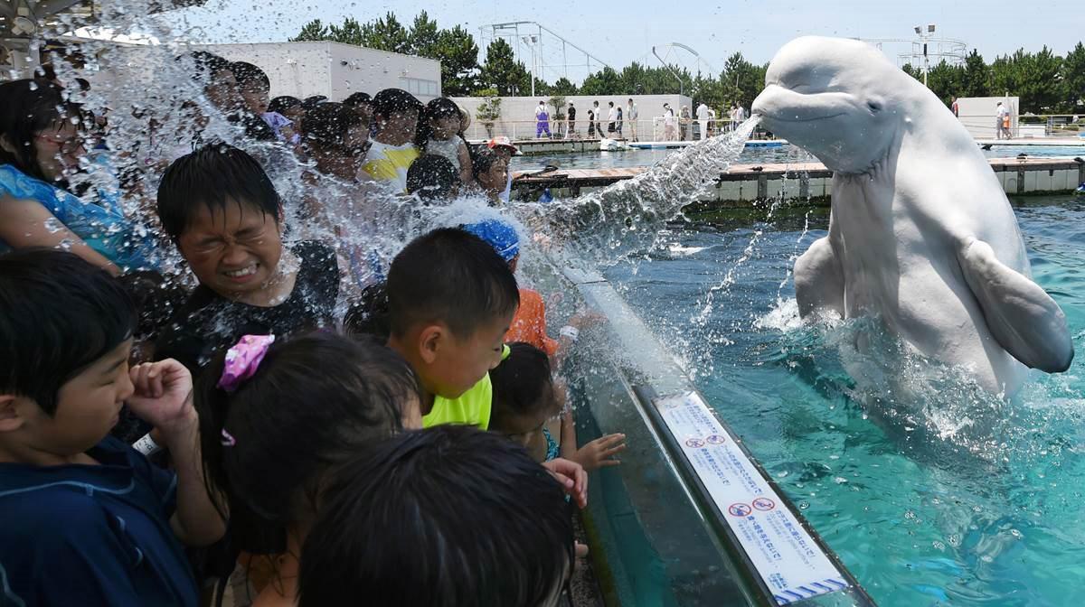 Σε ένα ενυδρείο στην Ιαπωνία τα παιδιά ανακάλυψαν ένα διαφορετικό τρόπο να δροσιστούν, που δεν είναι άλλος από μια παιχνιδιάρικη φάλαινα Beluga που φαίνεται και η ίδια να διασκεδάζει καταβρέχοντάς τα με νερό. AFP PHOTO / Toshifumi KITAMURA