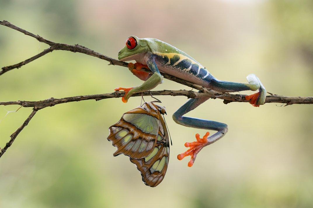 Βάτραχος Agalychnis με μία πεταλούδα. © nicolas reusens