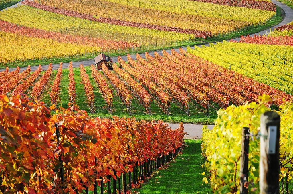 Vineyard-in-Aichelberg-Baden-Wurttemberg-Germany