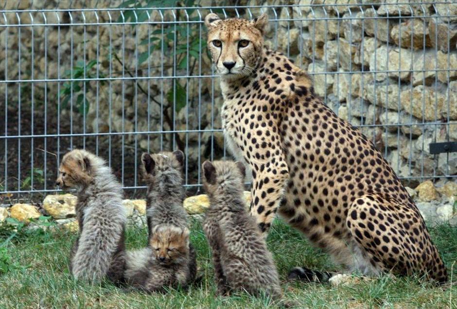 Νεογέννητα τσιτάχ στον ζωολογικό κήπο του Οπόλε.