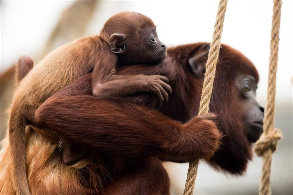 Τρυφερές στιγμές στον ζωολογικό κήπο της Κολωνίας. Ένας μικρός πίθηκος αλουάτα κρατιέται από τη μητέρα του στον ζωολογικό κήπο της Κολωνίας. Το μικρό ζωάκι γεννήθηκε στις 26 Δεκεμβρίου και είναι ο 34ος πίθηκος αυτού του είδους που φιλοξενεί ο ζωολογικός κήπος. @EPA / MARIUS BECKER