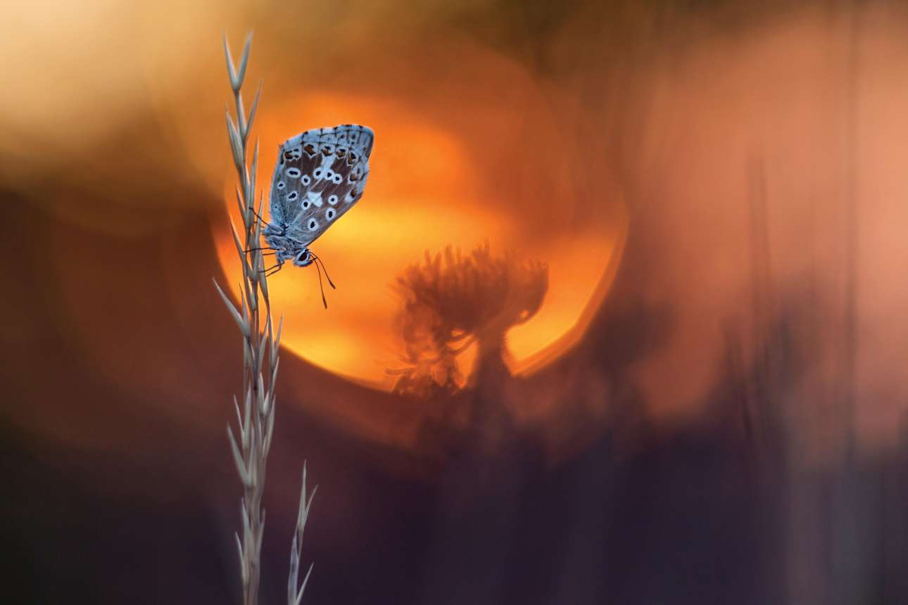 Η πεταλούδα βρισκόταν στην κατάλληλη θέση. Ακριβώς μπροστά από τον ανατέλλοντα ήλιο. Και ο Αυστριακός Χένρικ Σπρανζ άδραξε την ευκαιρία, θολώνοντας το φόντο. Henrik Spranz/ Outdoor Photography