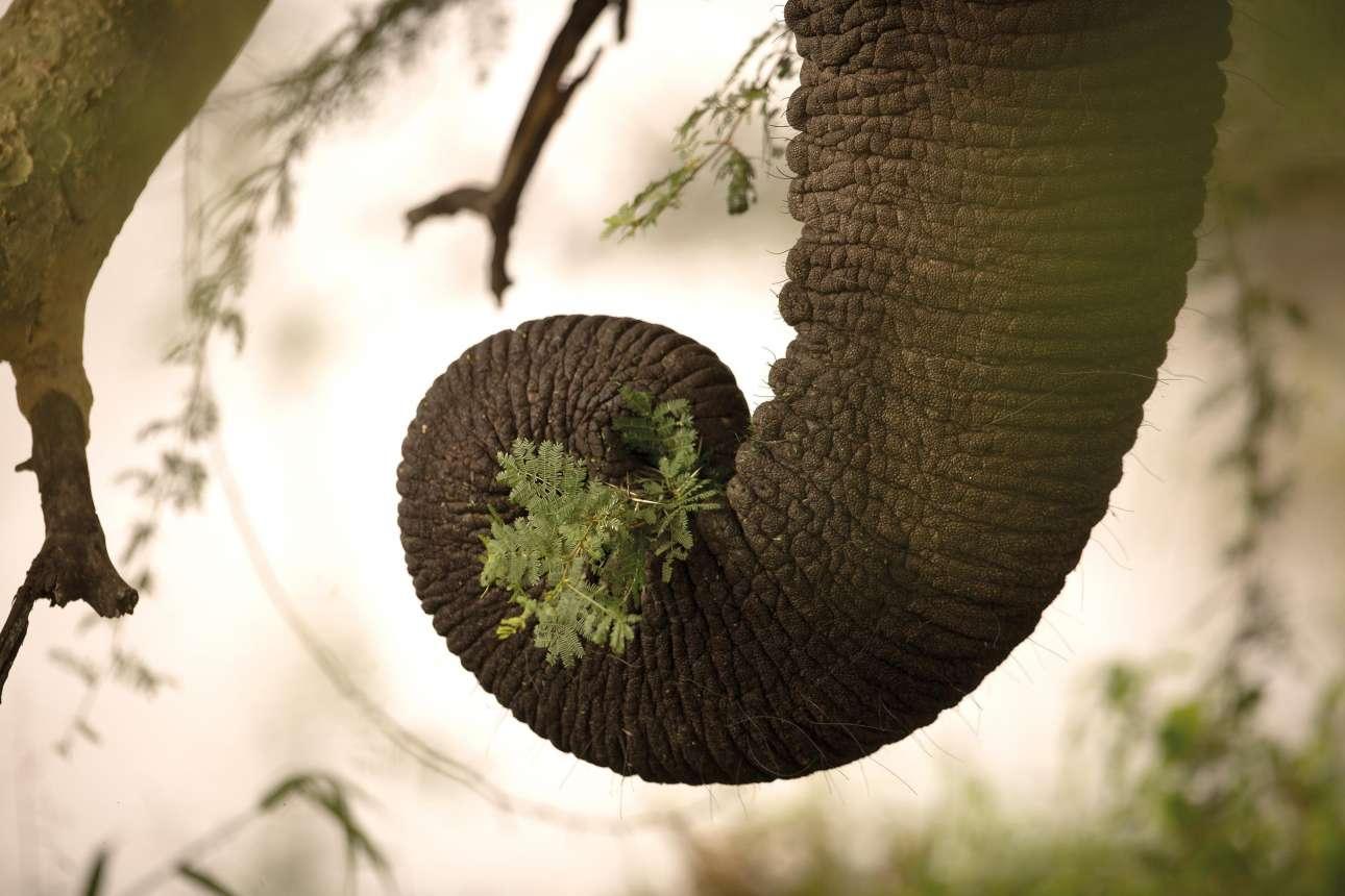 Στιγμιότυπο που δείχνει αυτό που μάγεψε τη φωτογράφο: τη δεξιότητα μίας προβοσκίδας. Η βρετανίδα Ναόμι Στόλοου βρισκόταν σε κατασκήνωση στη Νότια Αφρική σε απόσταση αναπνοής από το αντικείμενό της. Ο ελέφαντας μασούλαγε ανενόχλητος. Naomi Stolow/ Outdoor Photography