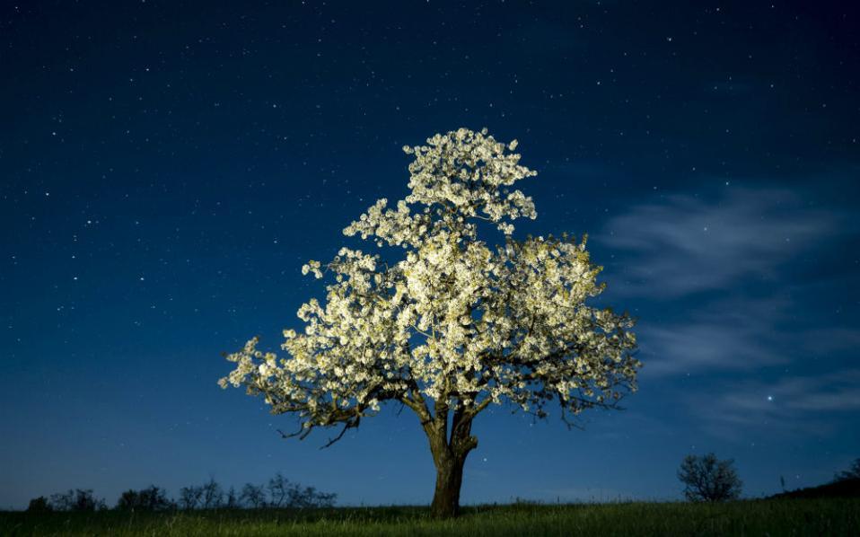 Λάμπουν τα άνθη της κερασιάς με φόντο τον έναστρο ουρανό. Το μοναχικό δένδρο, σημαιοφόρος της άνοιξης που έφτασε, βρίσκεται στο Salgotarian περίπου 100 χιλιόμετρα βόρεια της Βουδαπέστης. @Epa