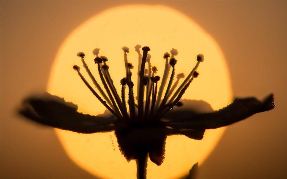 Ένα λουλούδι ανθίζει πριν την ανατολή του ήλιου στο Alt Zeschdorf της Γερμανίας. @EPA / PATRICK PLEUL