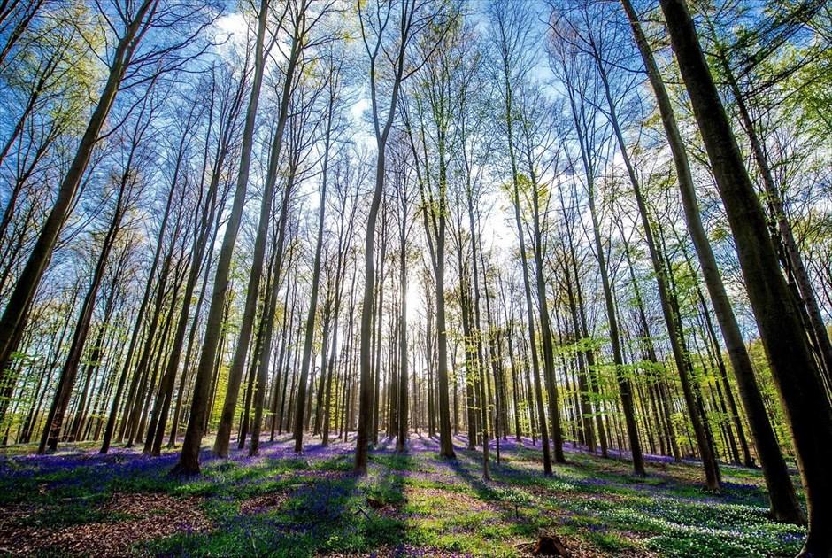 Άποψη του δάσους της πόλης Χάλε, στο Βέλγιο. Το δάσος είναι γνωστό και ως «μπλε δάσος» λόγω του χρώματος που του προσδίδουν οι άγριες καμπανούλες που φυτρώνουν στην περιοχή. @EPA / STEPHANIE LECOCQ
