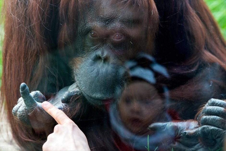 Ένα παιδάκι κοιτά την «Nonja», τον 39χρονο θηλυκό ουρακοτάγκο του ζωολογικού κήπου Σενμπρούν, στη Βιέννη. @EPA / CHRISTIAN BRUNA