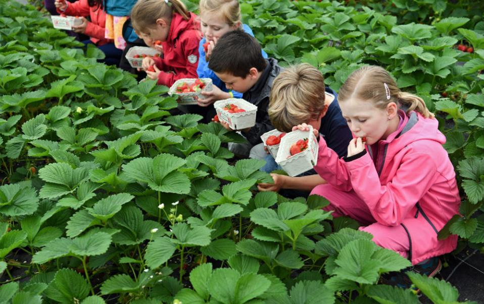 Συγκομιδή της φράουλας. Ήρθε η εποχή του ζουμερού και αρωματικού φρούτου και στην Γερμανία (ας είναι καλά τα θερμοκήπια), και τα πιτσιρίκια έτρεξαν να τις δοκιμάσουν. Μαθητές με τα καλαθάκια τους βρέθηκαν στην φάρμα Lindenhof Stroell και έφαγαν τις πρώτες φράουλες (χωρίς να τις πλύνουν) αμέσως μετά την συλλογή τους. Στην περιοχή της Hesse 160 φάρμες σε τουλάχιστον 860 εκτάρια, καλλιεργούν φράουλες. EPA/ARNE DEDERT