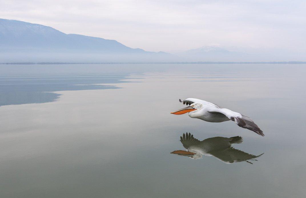 Αργυροπελεκάνος διασχίζει τη λίμνη Κερκίνη. © Steen Torner