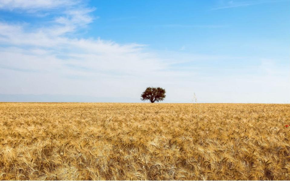 Χρυσό και γαλάζιο. Είναι ο συνδυασμός του Ελληνικού καλοκαιριού, είτε πρόκειται για ξανθή άμμο είτε για χρυσά στάχυα. Τα χωράφια στην Βόρεια Ελλάδα λάμπουν για λίγο ακόμη μιας και έχει ξεκινήσει ο θερισμός τους και η συλλογή του πολύτιμου σπόρου. (ΜΟΤΙΟΝΤΕΑΜ/ΒΑΣΙΛΗΣ ΒΕΡΒΕΡΙΔΗΣ)
