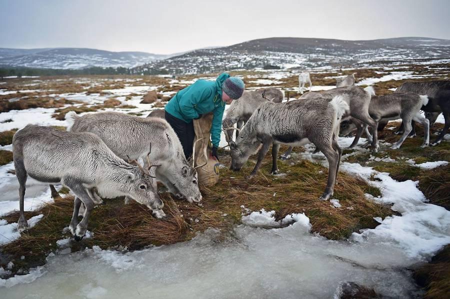 Ένας βοσκός ταράνδων τους ταίζει στο Εθνικό Πάρκο Cairngorms στη βορειοανατολική Σκωτία